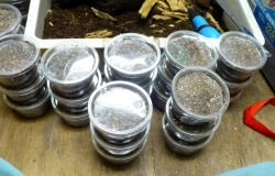 採取した幼虫はクリンカップに入れて管理します。