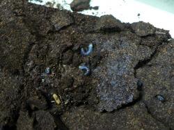 底のマットからの幼虫