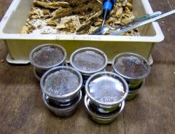 採取したオオクワガタの幼虫はクリンカップに入れて管理します。