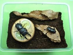 ヒラタクワガタの産卵セット